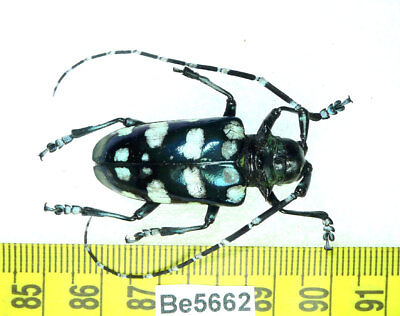 Anoplophora Lamiinae Cerambycidae Long Horn Beetle Real Insect Vietnam Be(5662)