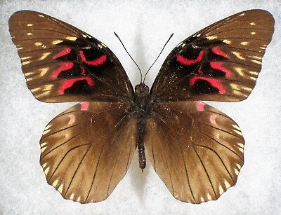 """Insect/Butterfly/ Anetia thirza - Male 3"""" VERY RARE"""