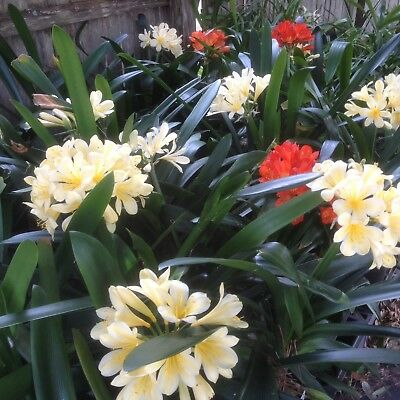 Clivia Miniata, 2-3 Year Old Plants 4 Surprise Mixed Plants, beautiful Flowers