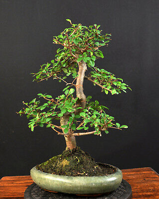 bonsai chinesische ulme ulmus parvifolia zimmerbonsai indoor 10 eur 29 00 picclick de. Black Bedroom Furniture Sets. Home Design Ideas