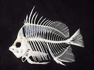 Rare! Pennant Butterfly Fish Skeleton real complete taxidermy skull unmounted