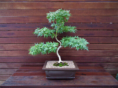 Bonsai Tree - Japanese Maple Tree - Pick Up Only