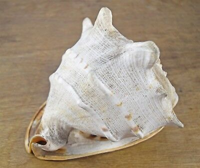 Large Vintage 9.5'' Long Ornate Conch Sea Shell