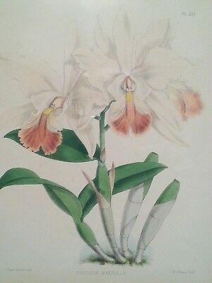 "Antique botanical lithograph by J. Nugent Fitch ""Cattleya Mardelli"" Orchids"