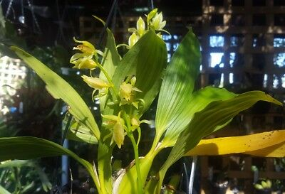 Coelogyne Chloroptera Orchid 2 x spikes