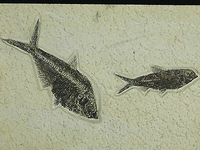 WoW! A Big Super FINE Diplomystus Fossil Fish with a Knightia Wyoming 2885gr e