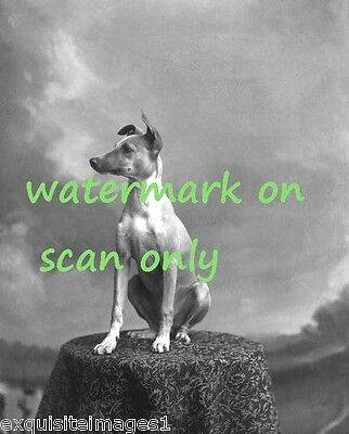 Vintage B&W Photo Whippet Dog Sitting on Table~ NEW Large Note Cards