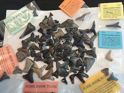 SHARK TEETH - 100 Genuine Fossil Shark Teeth
