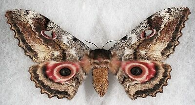 "Insect/Moth/ Gynanisa maja - Female 3 3/4"" Rare color Form"