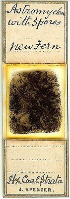 Astromyelon with Spores (Coal Fossil) Microscope Slide by Spencer