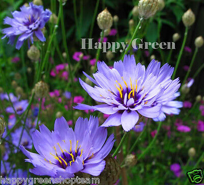LOVE PLANT - 50 seeds - Cupid's Amor Blue - Catananche Caerulea  - FLOWER
