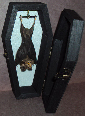 Real Hanging Bat in Black Wood Coffin! Gothic Taxidermy! Great Stocking Stuffer!