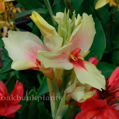 CANNA LILY CAPRI exceptionally long flowering canna