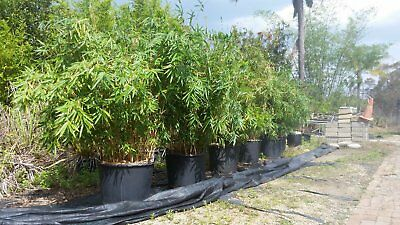 Bamboo Plants in large pots