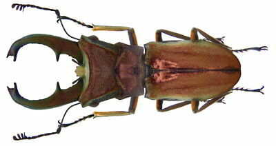 Cyclommatus Cupreonitens 40Mm+ Beetle Real Insect Indonesia Taxidermy
