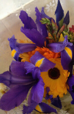 DAFFODILS mixed, Dutch iris,Freesias, 2 free starfish iris,22 bulbs, Great Gift!