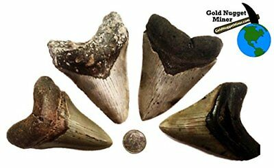 Genuine Megalodon Fossilized Shark Tooth - 4 to 5 Inches!