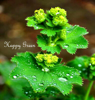 LADY'S MANTLE - 250 SEEDS - Alchemilla mollis - HERB - FLOWER