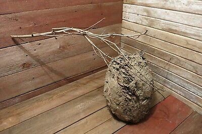 Vintage Wasp Nest Large Bee Hive South INDIANA Science Class Study Nature Decor!