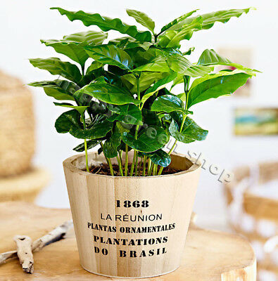 COFFEE PLANT - 7 seeds - Tropical Coffee house plant - Coffea arabica nana