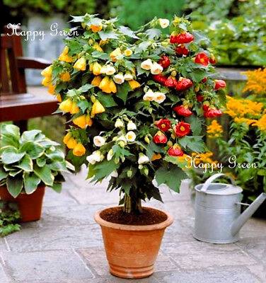 FLOWERING MAPLE MIX - 60 SEEDS - Abutilon Hybridum Bellvue - Pot and patio plant