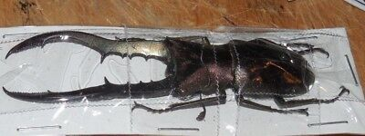 60mm+ METALLIFER FINAE BEETLE REAL INSECT TAXIDERMY