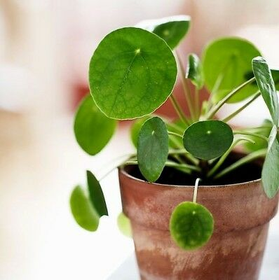peperomia graveolens 39 ruby glow 39 rot gr ne bl tter eur. Black Bedroom Furniture Sets. Home Design Ideas