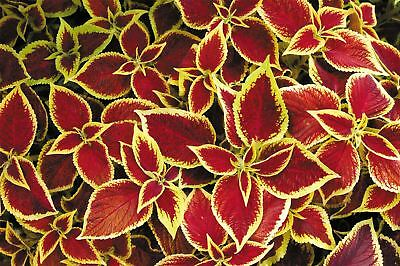 Flower - Coleus - Wizard Scarlet - 30 Seeds
