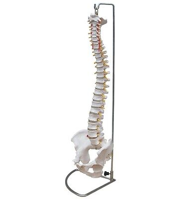NEW Life Size Chiropractic Flexible Human Spine Anatomical Anatomy Model w/Stand