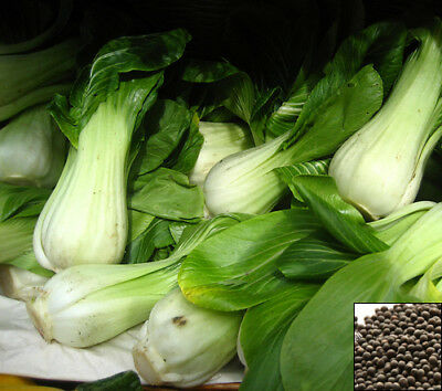CABBAGE CHINESE PAK CHOI - 600 SEEDS White Brassica chinensis vegetable fr #916