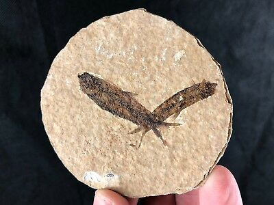 Fossil Fish: Knightia sp - Stunning Green River Double Display Specimen.