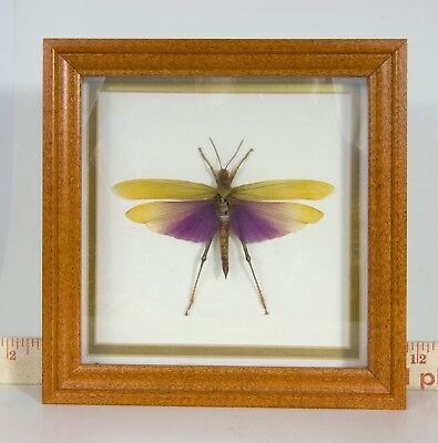 Real Peruvian dragon fly, Wooden Frame, Wall mount. Taxidermy