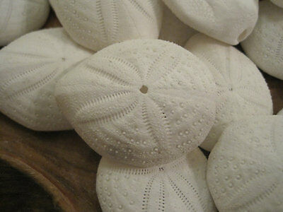 Puffy Sand Dollars (3) - Seashell Supply - Seashells - Sand Dollar - Crafts