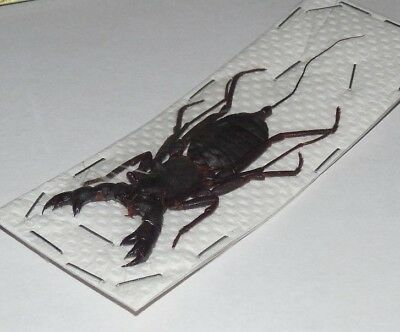 Hypocnotus Rangunensis Scorpion Real Insect Thailand Taxidermy