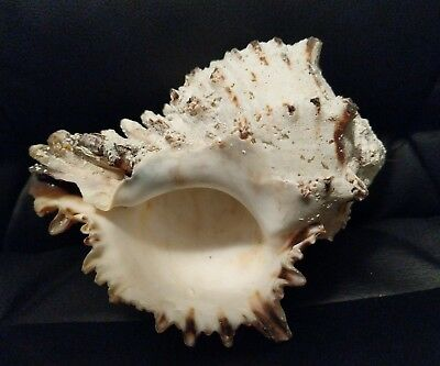 """Vintage Large Queen Conch Sea Shell white brown Natural Beach Approximately 6"""""""