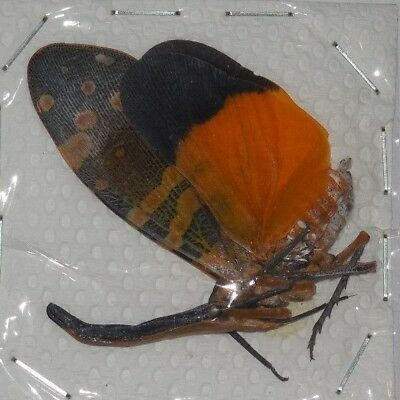 Pyrops Spinolae Dark Horned Lantern Fly Real Insect Taxidermy