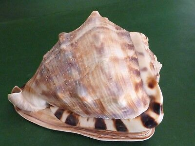 Large Conch Shell - Bullnose Tiger Horned Helmet Sea Shell - Polished 8.25""