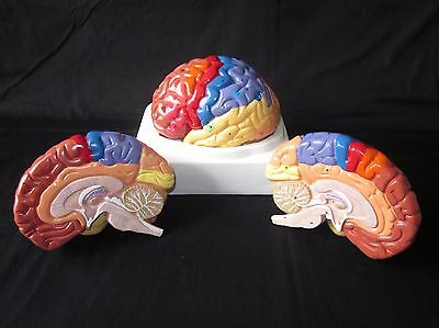 High Quality Numbered 2-Part Anatomical Color Regional Human Brain Anatomy Model