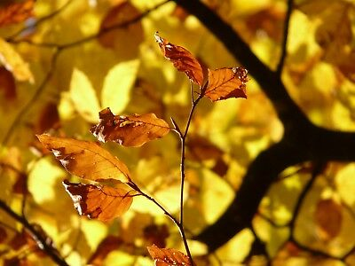 Autumn Tree / Leaves Canvas Picture Poster Print Wall Art Unframed #1282