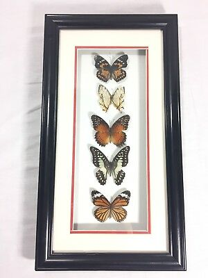 Butterfly Taxidermy Framed Display 5 Butterflies Bug Insect