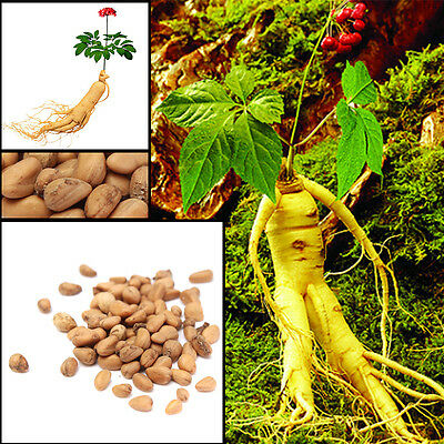 50X Chinese/Korean Asian Panax Ginseng Seeds  Fresh For Planting Nutrition NEW
