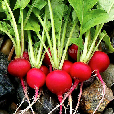VEGETABLE - RADISH - CARMEN - 1000 SEEDS - Raphanus sativus - HIGH YIELD