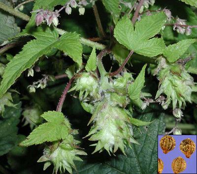 JAPANESE HOP Humulus Japonicus - 16 SEEDS - CLIMBING FAST GROWING ANNUAL #792