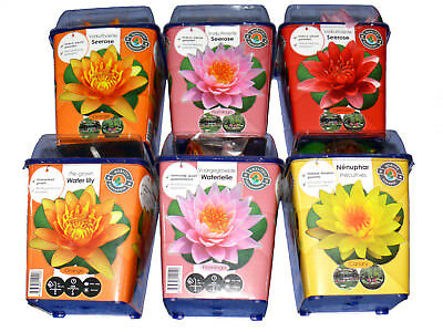 Water Lilly Nymphaea Red Yellow Pink Orange: vorkultiviert, Flowers Quick,