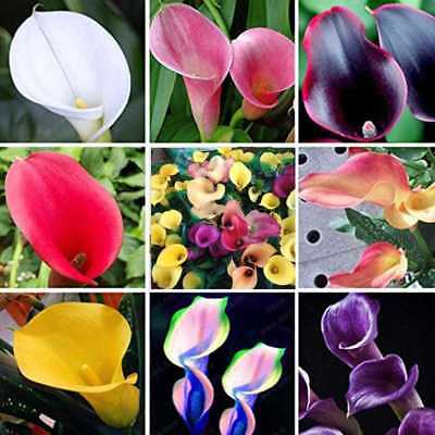 100Pcs Mixed Color Bonsai Calla Lily Seeds Rare Plants Flower Seeds Garde laps