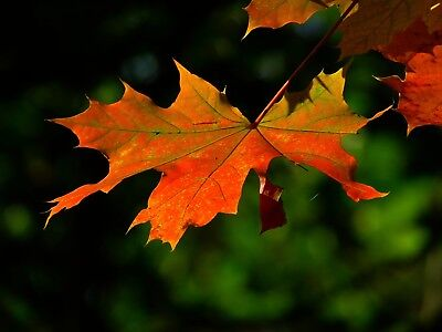 Autumn Tree Leaf Canvas Picture Poster Print Wall Art Unframed #2263