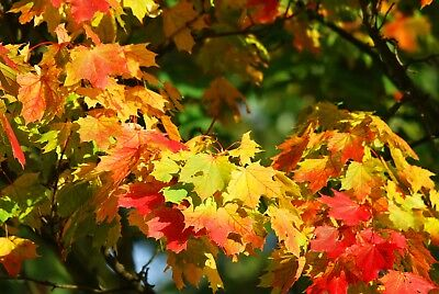 Stunning Autumn Tree Leaves Canvas Picture Poster Print Wall Art Unframed #2266