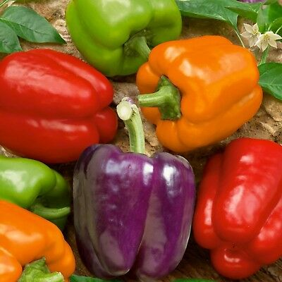 Pepper Sweet Bell Mixed Colors Gourmet Rainbow Blend LARGE SIZES 50 ORGANIC SEED