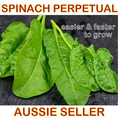Spinach Perpetual seed🌱 fast growing ALL YEAR around vegetable garden seeds