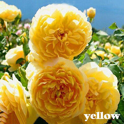 100PCS 8 Variety Climbing Rose Seeds Rose Multiflora Perennial Fragrant F i E7Z6